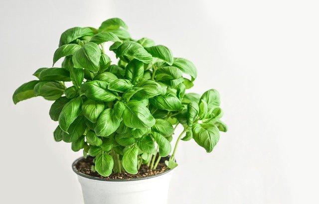 Rostlinka bazalky